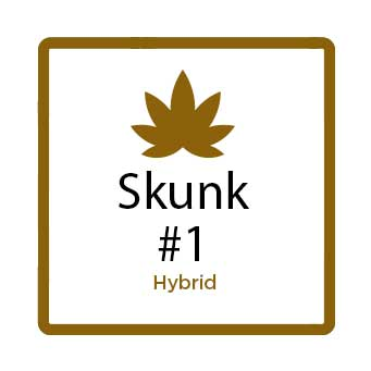 Medical Marijuana for Stress - Skunk 1