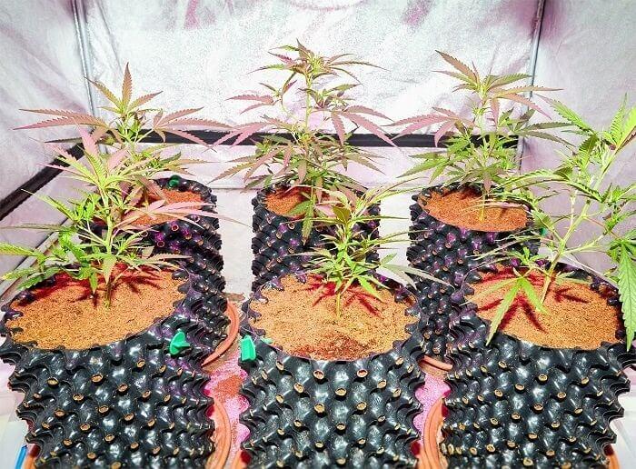 Hybrid Weed