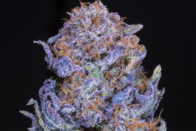 Purple Haze Sativa Strain