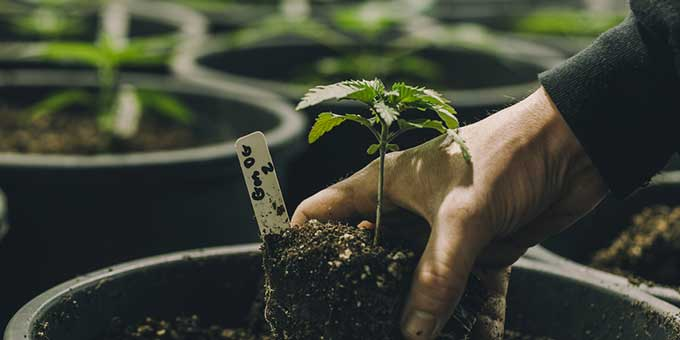 A Quick Guide For How to Grow Marijuana Indoors