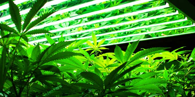 Artificial lights for growing cannabis indoors
