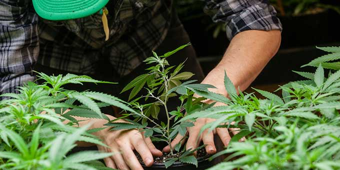 How to grow your own marijuana