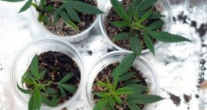 Cloning Marijuana: How to Grow Cannabis Without Seeds